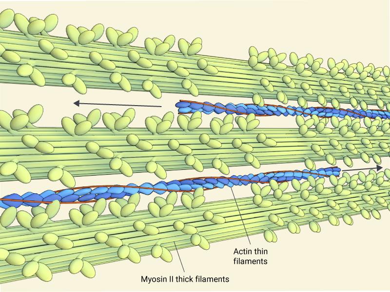contractile-fibres-actin-myosin