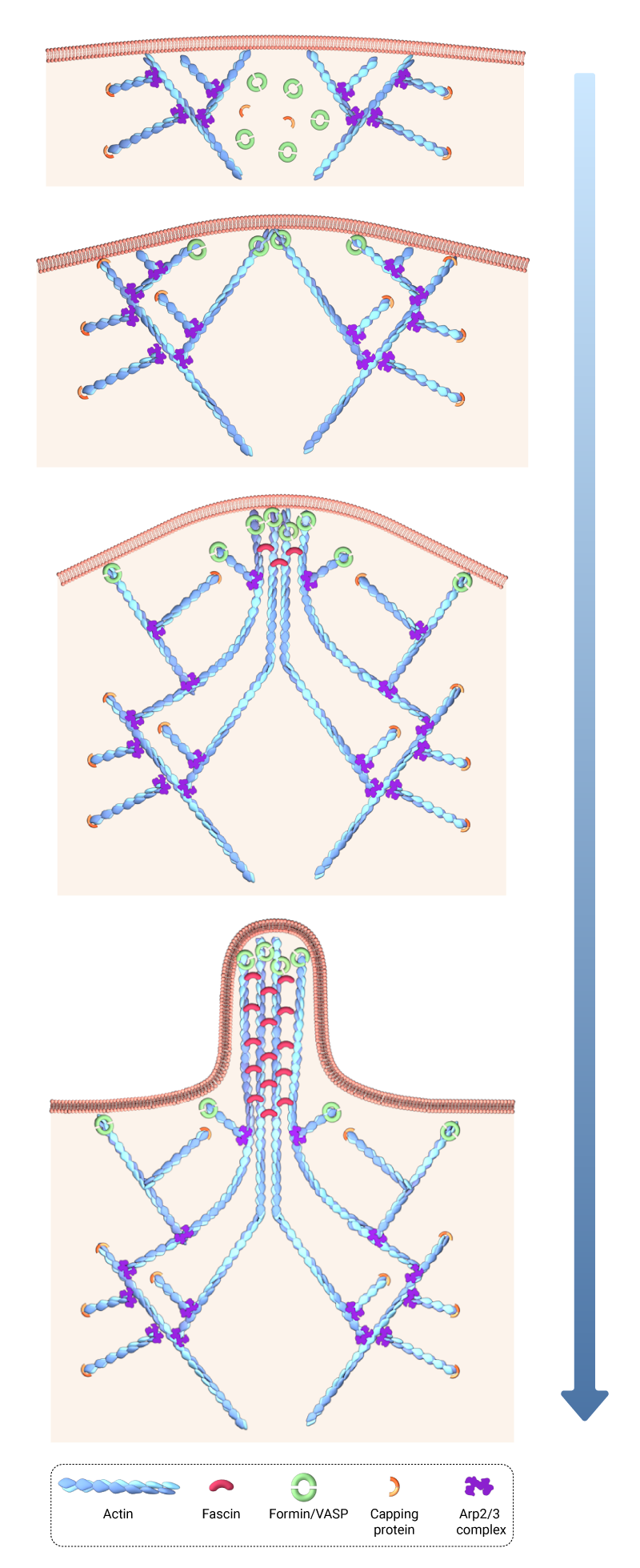 convergent-elongation-actin-nucleation