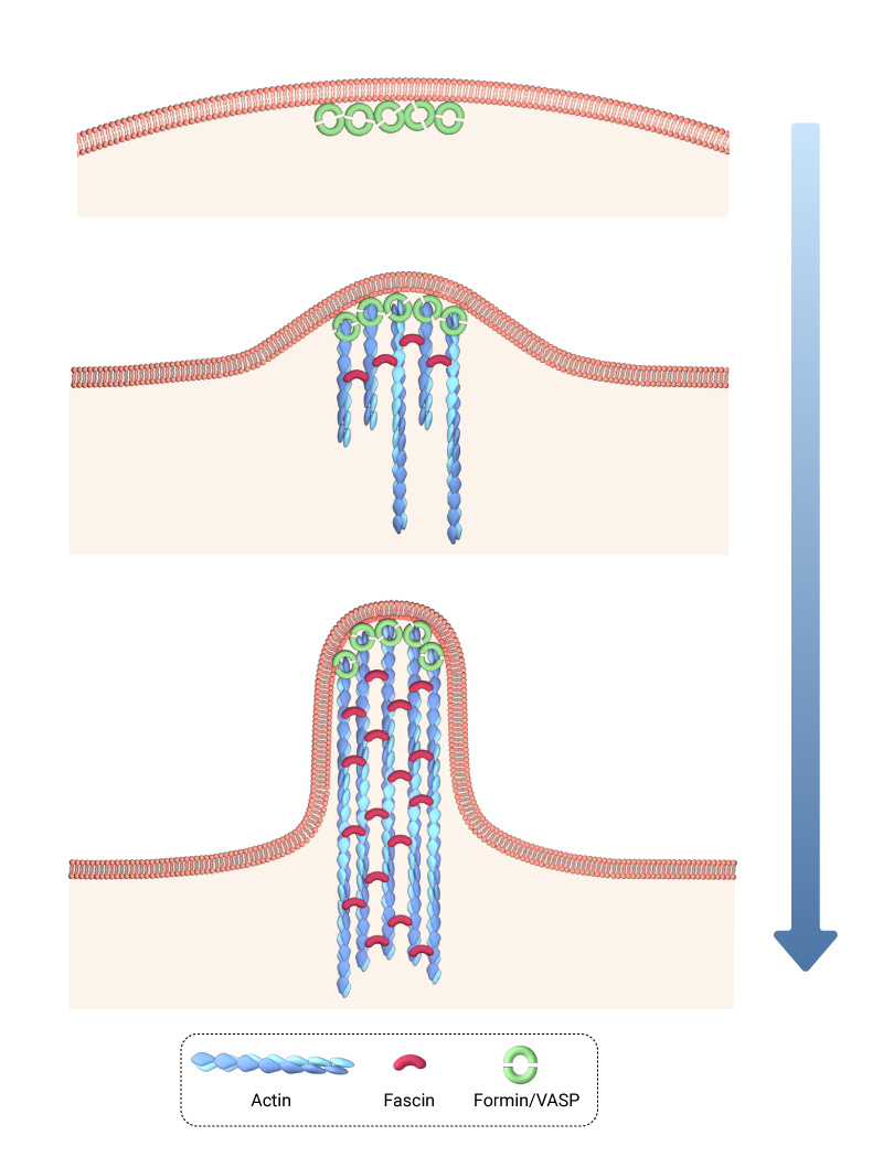 tip-nucleation-model-actin