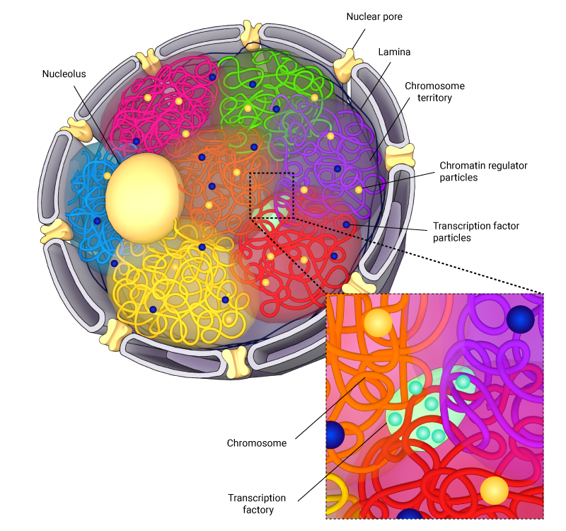 interchromosomal-compartments