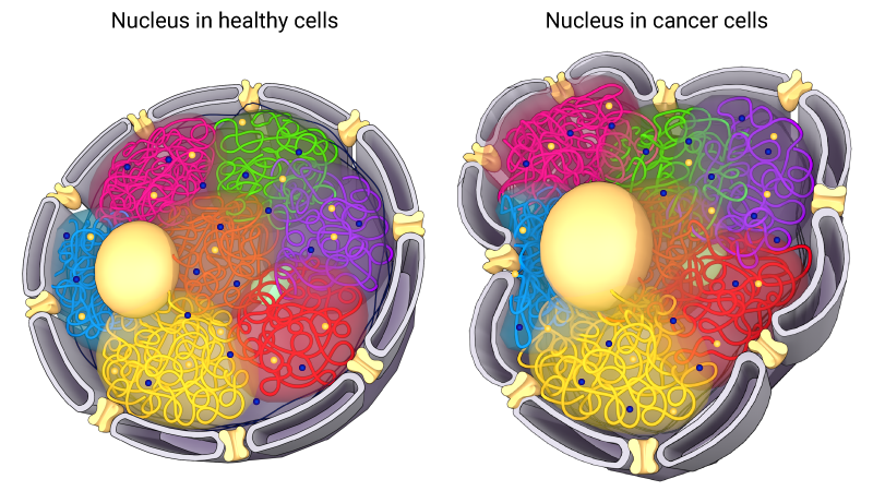 nucleus-normal-cell-cancer-cell