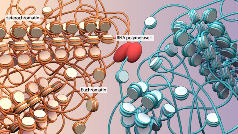 heterochromatin-euchromatin