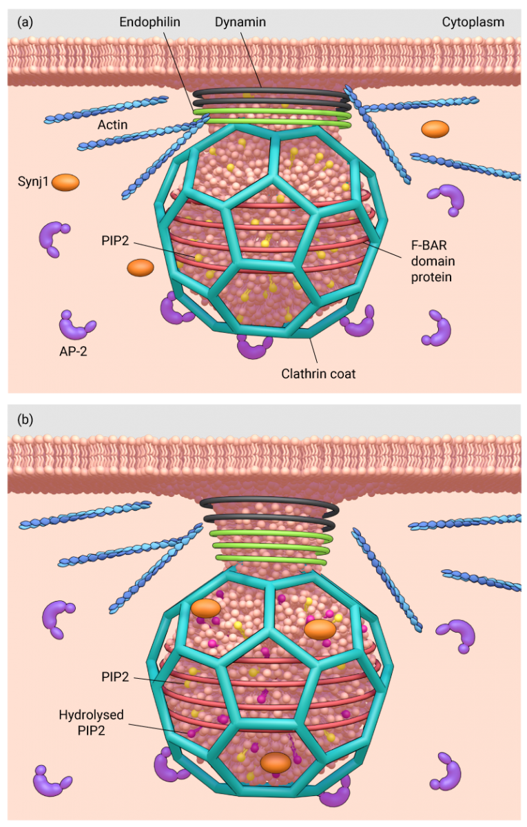 how-does-the-clathrin-coated-vesicle-neck-narrow