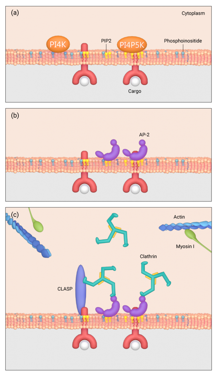 how-is-clathrin-recruited-to-plasma-membrane
