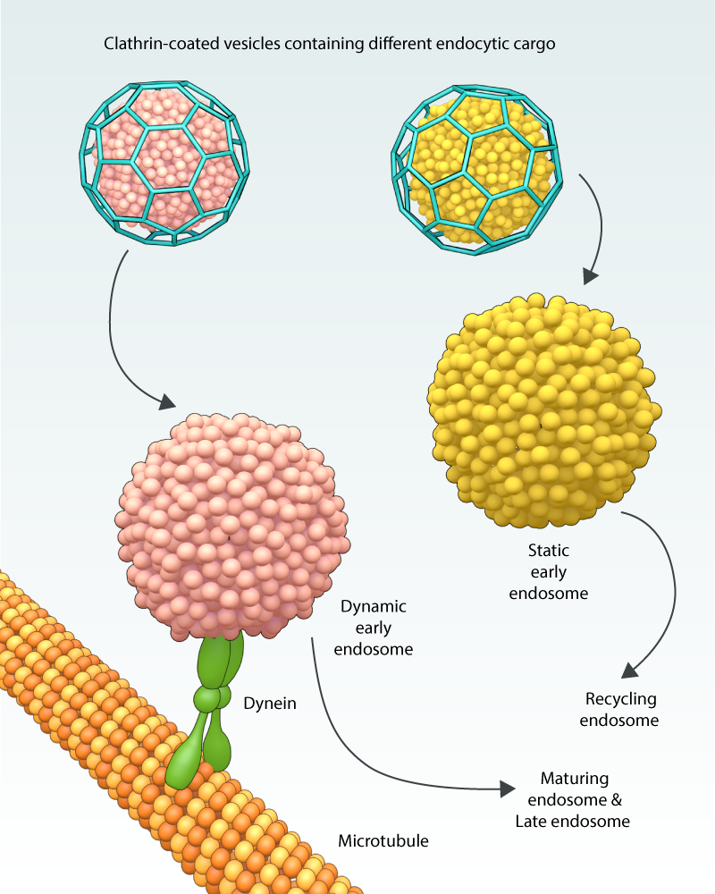 how-are-clathrin-coated-vesicles-transported