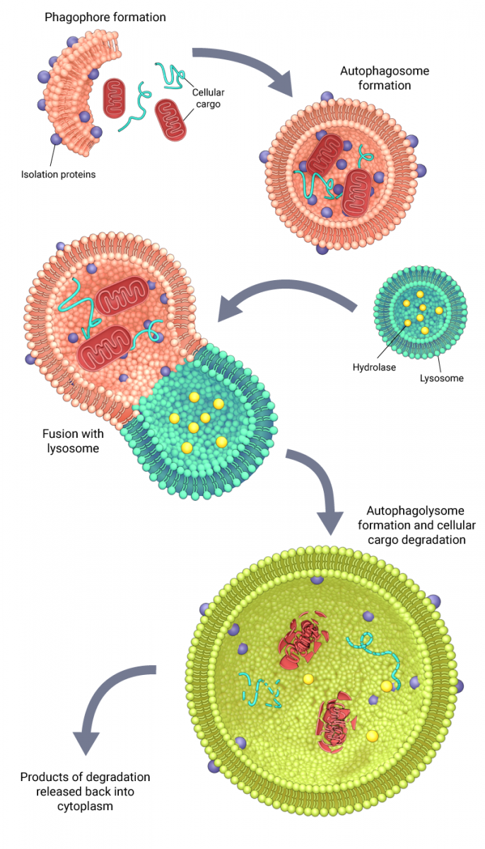 Schematic depicting the mechanism of autophagy